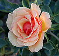 120px-Rosa_Anne_Harkness
