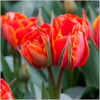 red_tulip_flowers