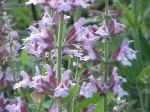Sage flowers salvia_officinalis0