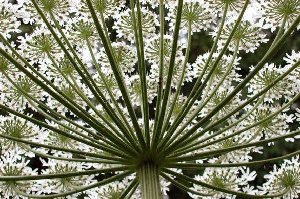 1 Giant HOgweed
