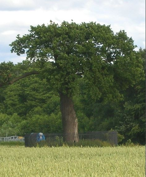 Boscobel Oak